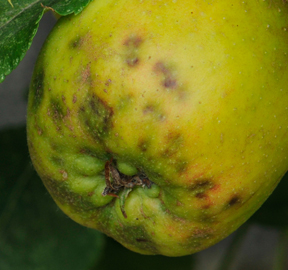 Severe Bitter Pit of Apples
