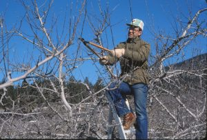 Richard Hallman Dormant Pruning in the Similkameen Valley 1978